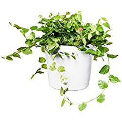 EVRGREEN | Zimmerpflanze Kletterfeige in Hydrokultur mit weißem Topf als Set | Kletterficus | Ficus pumila