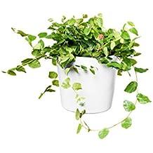 EVRGREEN Kletterfeige | Kletterficus | Zimmerpflanze in Hydrokultur | im Set inkl. Keramiktopf (weiß) | Ficus pumila