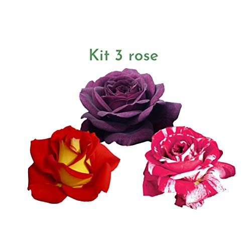 Kit di 3 rosai Rose Barni ad effetto massivo, 3 piante di rosa per rinnovare il giardino - Scentimental, Ketchup & Mustard e Purple Eden. Rifiorenti fino in autunno, per bordure e aiuole.