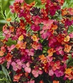 pack-x6-erysimum-constant-cheer-perennial-wallflower-perennial-garden-plug-plants