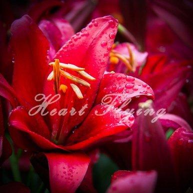 Galleria fotografica SwansGreen Lily lampadine vero impianto di bulbi di giglio semi di fiori a casa giardino di piante bonsai originali professionali 2 alberi