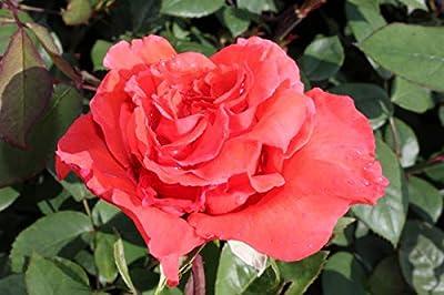Rose Orange Delight - kräftige Pflanze im 3lt Container von Lubera AG bei Du und dein Garten