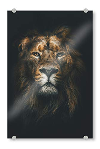 artboxONE Acrylglasbild 60x40 cm Natur African Lion Bild hinter Acrylglas - Bild Lion löwe