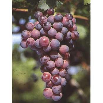 pianta-di-uva-cardinal-precoce-rossa-da-tavola-1-pianta