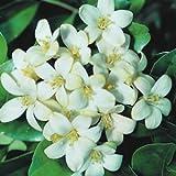 #5: Ornamental Plant : Kamini Jasmine Flower Seeds - 10 Seeds by Creative Farmer