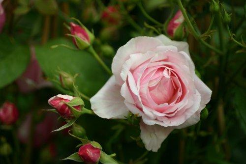 billet-douxr-wurzelnackte-rose-a-qualitat