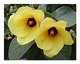 Hibiscus tiliaceus - Hibiskus - 10 Samen