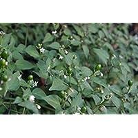 Fash Lady 10 Amarillear Hot Peppers Seeds, (Capsicum baccatum, de Bolivia