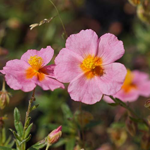 Blumixx Stauden Helianthemum Hybride 'Lawrensons Pink' - Sonnenröschen karminrosa
