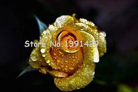 30 PCS COLOR Yulan Magnolia Flower Tree Seeds bonsaï fleurs d'arbres semences pour la maison jardin plantation