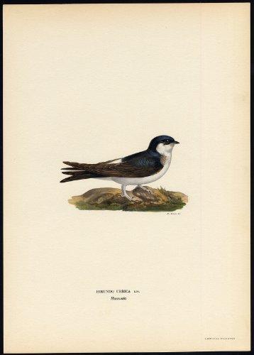 antico-print-delichon-urbicum-common-house-martin-swallow-von-wright-1917