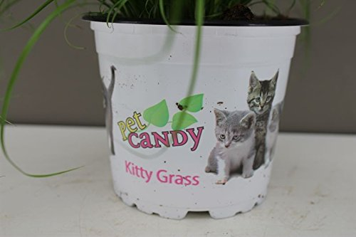 Excellent Gift Present for cats - Cat Kitten Grass - Ideal for house and flat cats - Grass Salad - Indoor decorative… 2