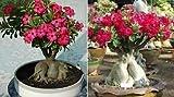3x Adenium arabicum Bonsai Wüstenrose Zimmer Pflanze Saatgut Samen Garten B528