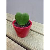 Hoya Kerrii o planta del corazon (maceta 7 cm Ø) - Planta viva de interior