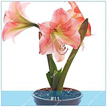 Galleria fotografica ZLKING 1 pc / pacchetto Big vero Amaryllis Bulbi interna ed esterna in vaso Fiori Piante Flower Bulb bonsai tasso di sopravvivenza è alta 11