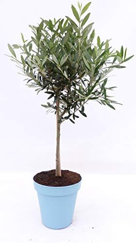 im Pflanzkübel: Olivenbaum Stamm Olive 80-110 cm hoch, beste Qualität, Olea Europaea