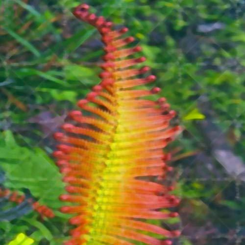 Kisshes giardino - 50 pezzi semi di felce multicolore rari semi di ortaggi pteridophyta colorati giardino e balcone resistenti perenni