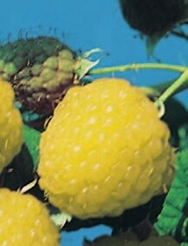 Rubus idaeus Golden Queen - gelbe Himbeere Golden Queen