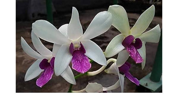 Dendrobium White Woo Leng Blue Bloom size