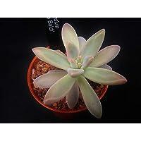 Portal Cool Las Semillas del Paquete: Xgraptosedum 'Francesco Baldi', Cactus/Suculentas