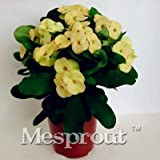 Pinkdose 100PCS Rare Euphorbia Milii Hybrid Pflanze Bonsai Topfbonsaipflanzen Euphorbia Milii Blume für Hausgarten-Staude Bonsai: 7