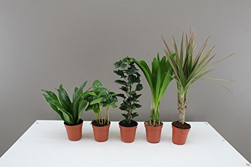 foliage-plug-plants-ideal-for-miniature-gardens-windowsills-desks-easy-care-houseplants-evergreen-in