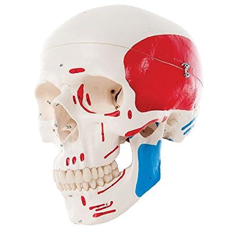 3B Scientific - Anatomie humaine - A23 Crâne classique peint