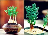 Pinkdose 200 Pz Spring Grass Plant Piante grasse Erba DIY bonsai In vaso Giardino Piante esotiche a spirale Erba ornamentale Bonsai: 9