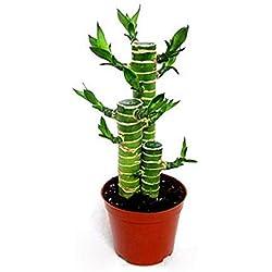 Semillas Plantas Semillas 20Pcs Dracaena Sanderiana Suerte de Bambú Planta Ornamental de Jardín Bonsai Decoración - Semillas Dracaena Sanderiana