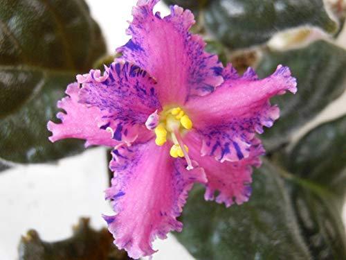 Shoopy Star Scotch Bonnet Pfeffer sät orange 30 + Samen Organisch gewachsen Erbstück Jamaican