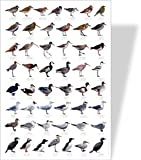 Shore & Estuary Birds Educational Poster - 50 European Wetland Birds