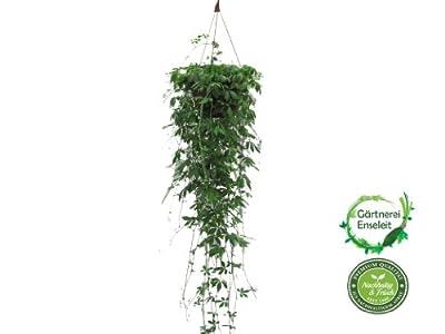 Jiaogulan Ampel, 23er Ampel, Gynostemma pentaphyllum, 3 Pflanzen pro Ampel von Weselerkräuterparadies bei Du und dein Garten