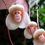 Aprettysunny Affe Gesicht Orchideen Samen Pflanzensamen Schöne 20 Teile/beutel Verschönerung Topf