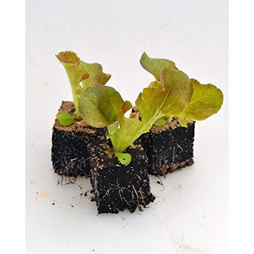 Gemüsepflanzen - Eichblattsalat/Red Salad Bowl - Lactuca sativa var. acephala - Asteraceae - 12 Pflanzen Red Salad Bowl