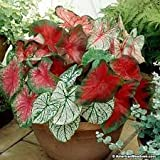 Caladium plant bulbs pack of 5 mix color
