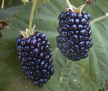 Brombeeren Samen (Riesen Brombeere 10 Seeds Größer süße Früchte (Blackberry Giant))