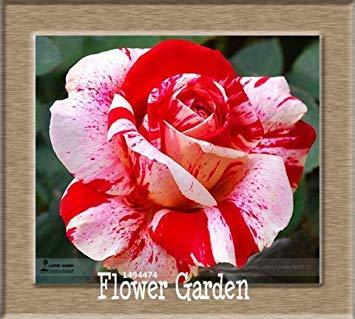 VISTARIC 20: pots de fleurs Big jardiniÚres, 20 types, 50 PCS/Lot, rose graines arc-en-Belle rose graines bonsaïs graines, 20 B4LT8H