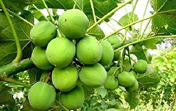 PLAT firma de Jatropha curcas SEMILLAS, su propio combustible BIO, agradable de plantas ornamentales, 10 semillas