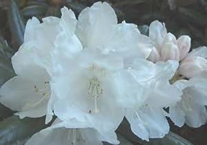 Rhododendron - Yakushimanum-Hybriden im Container 25 - 30 cm