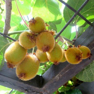 Kiwi Jenny - Actinidia chinensis 'Jenny' - selbstfruchtend / selbstbefruchtend