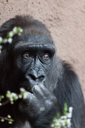 A Shy Female Gorilla, For the Love of Animals: Blank 150 page lined journal for your thoughts, ideas, and inspiration