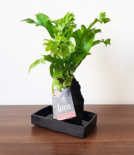 """BALDUR-Garten Lova Farn\""""Green Flame\"""";1 Pflanze"""