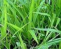 50 Filterpflanzen im Sortiment Teichpflanzen Teichpflanze Filterpflanzen von ZAC Wagner bei Du und dein Garten