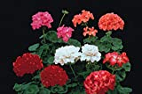 Portal Cool Flower - Geranio - Paintbox F2 ibrida - 120 Seeds - Grande