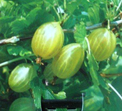 Gelbe Stachelbeere Hinnomäki Busch 3 Liter Pflanzcontainer 3 - 4 Triebe