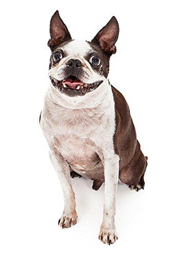 Hunde Aufkleber Sticker Boston Terrier -