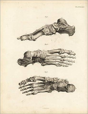 Forex-Platte 30 x 40 cm: Knochen im menschlichen Fuß von Jean Joseph Sue / Fotofinder.com