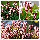 Aimado Seeds Garden - Sud-africaine Graines de Oxalis versicolor rouge-rose Grainé fleur jardin plante vivace résistant