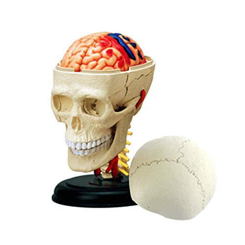 Filoviria Ciencia cráneo humano modelo de juguete anatómico rompecabezas montaje cráneo humano órgano anatomía modelo equipo de enseñanza médica