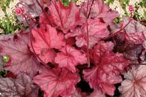 BlütenStars 'American Beauties' Heuchera-Neuheit 'Fire Chief' Purpurglöckchen 1 Pflanze